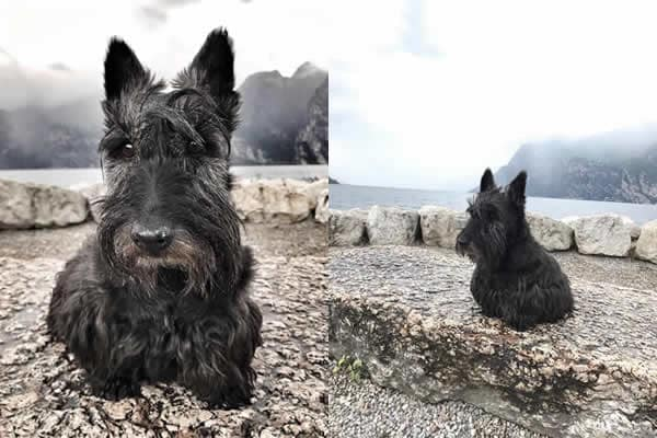 Patrick Saracco - PS Scottish terrier 2